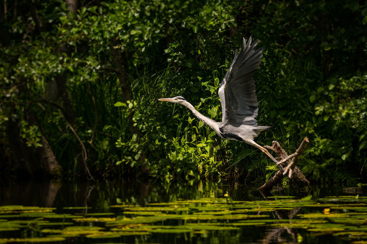 view of gray heron flying over lake