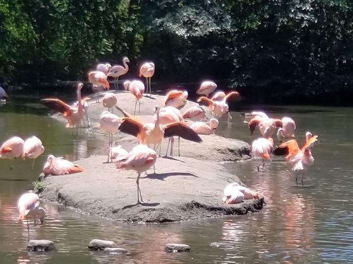 Flamingos Zoo Flamingo Bird Water Lake Pink Color Flock Of Birds Reflection Freshwater Bird Spread Wings Water Bird Colony Swimming Animal
