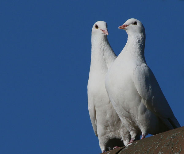 Low angle view of doves perching on metal against clear blue sky