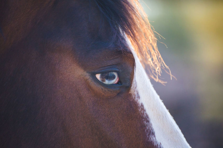 Brown and white horse with multicolor blue and brown eyes. Horse Life Horses Looking At Camera Animal Animal Body Part Animal Eye Animal Head  Animal Head  Animal Themes Animal Wildlife Animals Animals In Captivity Brown Close-up Day Domestic Domestic Animals Eye Focus On Foreground Herbivorous Horse Horse Photography  Livestock Look Looking Mammal Multicolored Multicolors  One Animal Pets Vertebrate
