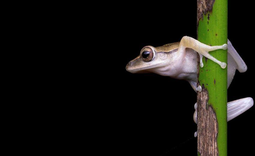 Close-up of frog on black background