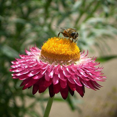 Strawflower. National Botanic Garden of Wales. Flower Bee Botanic Garden Botanical Garden Strawflower First Eyeem Photo