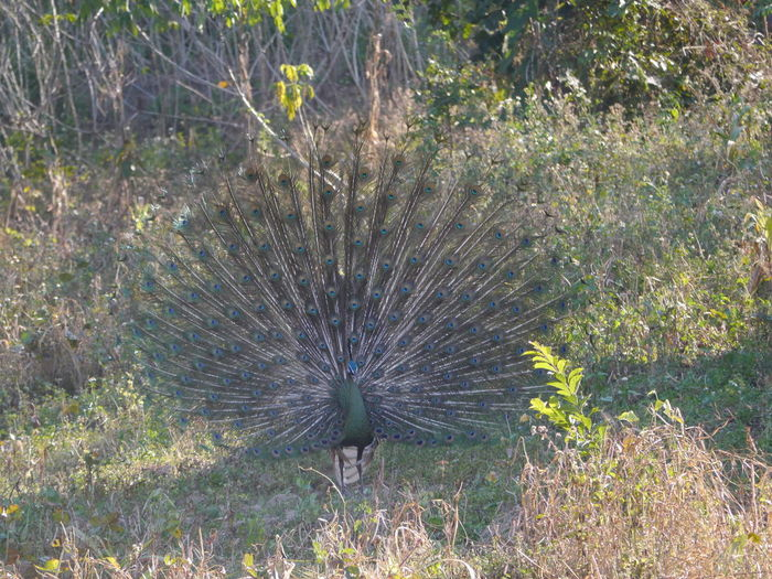 High angle view of peacock on field
