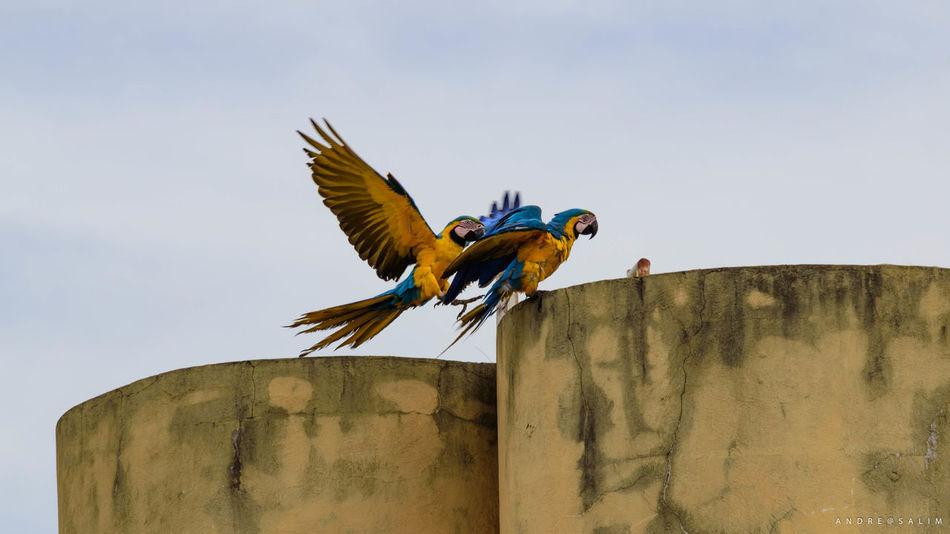 Araras Canindé Arara Bird Canindé D5500 Day Nikonphotography No People Sky