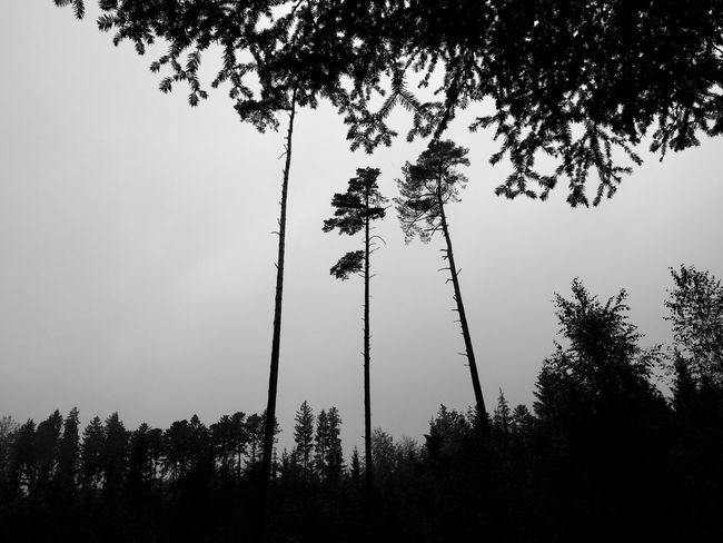 three trees Trees Beauty In Nature Black And White Blackandwhite Branch Clear Sky Day Forest Forest Trees Germany Growth Landscape Low Angle View Nature No People Outdoors Silhouette Sky Small Thin Three Tree Trees And Sky Treescape Wallpaper