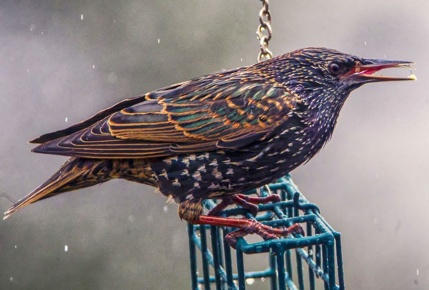 Looking for food Bird Animal Themes Animal Animals In The Wild One Animal Animal Wildlife Perching Focus On Foreground No People Starling Close-up Nature Outdoors Animal Markings Multi Colored Profile View Beauty In Nature Wet Bird Bird In The Rain Perching Bird