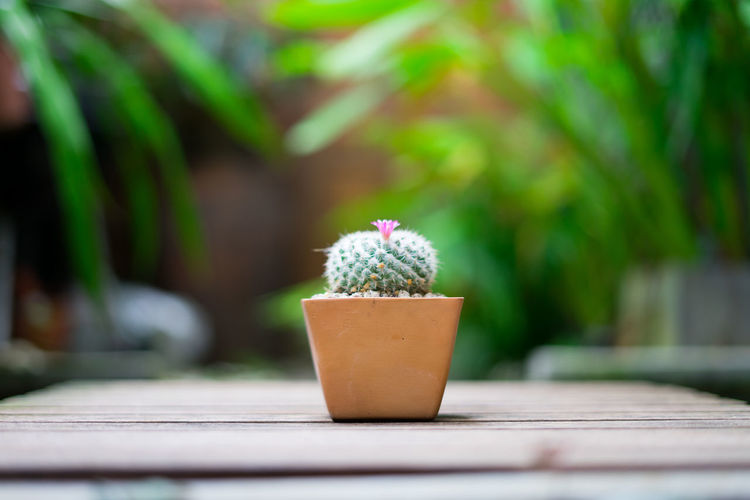 Beauty In Nature Cactus Close-up Day Flower Flower Pot Flowering Plant Focus On Foreground Freshness Green Color Growth Houseplant Nature No People Outdoors Plant Potted Plant Selective Focus Succulent Plant Table Wood - Material