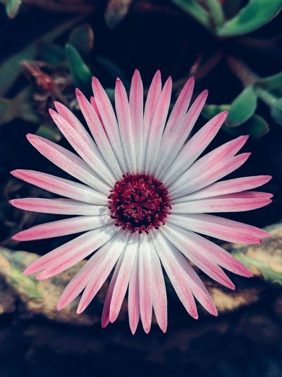 Livingstone Daisy Colorpop Flowers Closeup Teampixel Illgrammers Thephotosociety Natgeo Garden Vivid Vibrant Beautiful Naturephotography HDR Lightroom Nature
