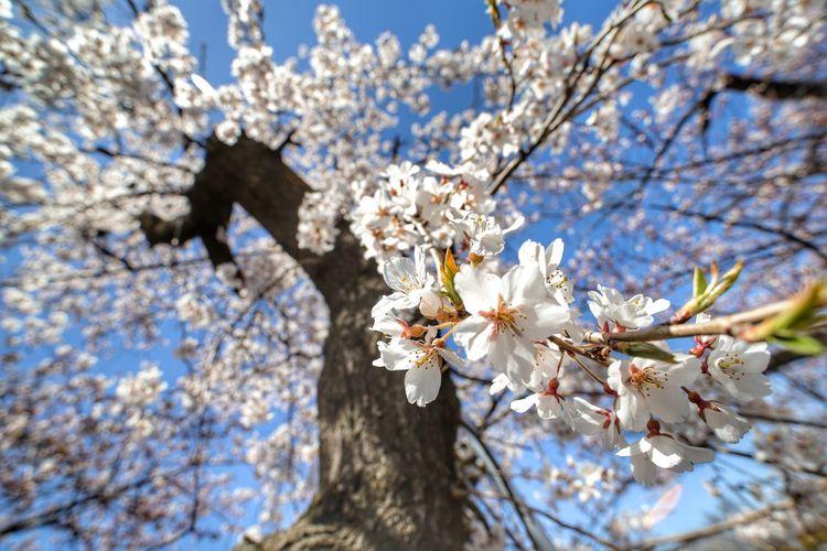 桜よりも、この日記憶に残ったのは、パリパリ皮のたい焼きの>゜))彡美味しさ😋 Wide Macro 中華レンズ Flower Head Tree Flower Branch Springtime Plum Blossom Blossom Apple Blossom White Color Petal Flower Tree