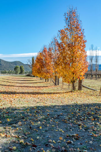 Deciduous trees with colourful autumn leaves against blue sky Australia Australian Nature Orange Rural Autumn Beauty In Nature Blue Change Day Fall Field Landscape Landscape Leaf Nature No People Outdoors Rural Scene Scenics Sky Sky Tranquil Scene Tranquility Tree