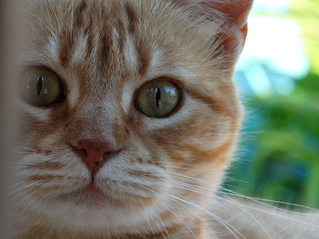 Portrait Looking At Camera One Animal Close-up Animal Themes Mammal Domestic Cat Domestic Animals Feline No People Nature Animal Body Part Animal Eye Pets Carnivora Day Outdoors