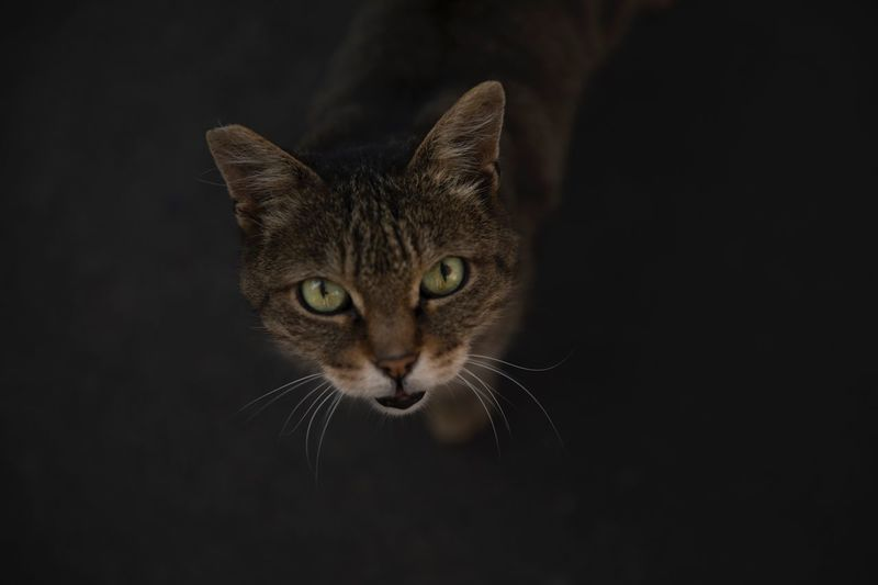EyeEm Selects Domestic Cat Feline One Animal Animal Themes Pets Domestic Animals Mammal Looking At Camera Whisker Portrait Black Background Close-up No People Indoors  Day