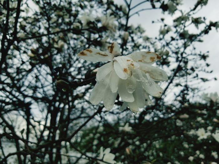 Pinaceae Needle