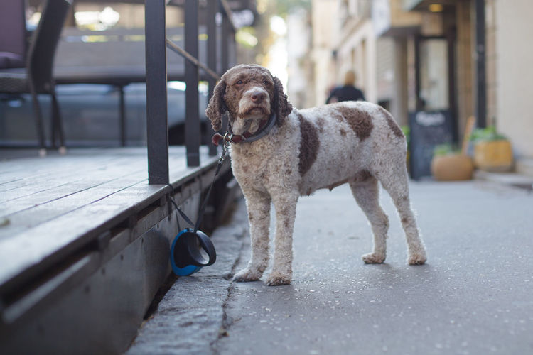 cute dog waiting for owner on the street Mammal Domestic Pets Dog Canine Domestic Animals Animal Themes Animal Day Looking At Camera Outdoors Standing Footpath City Cute Tied Awaiting Lagotto Romagnolo Leash Pavement Expecting Friend Companion Lonely Waiting
