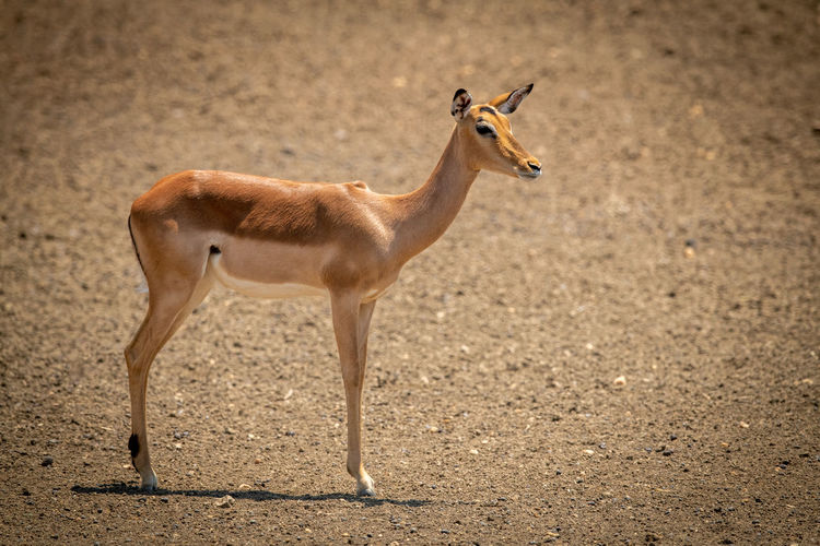 Female common impala stands staring casting shadow