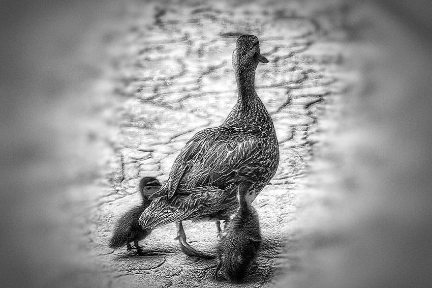 Mother Duck Mother Duck With Ducklings Ducklings Ducks Crossing Mobilephotography Mobile Photography Nature Photography Black & White Shades Of Grey