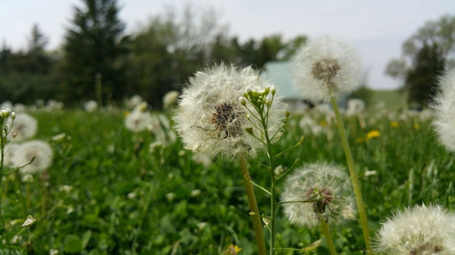 Close-up of dandelion flowers