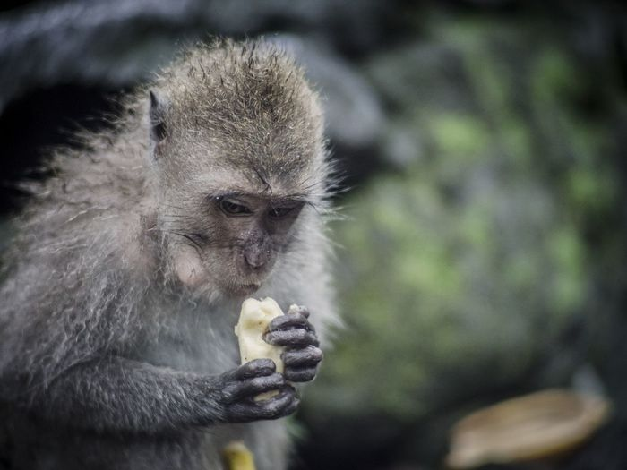 Close-up of monkey eating food