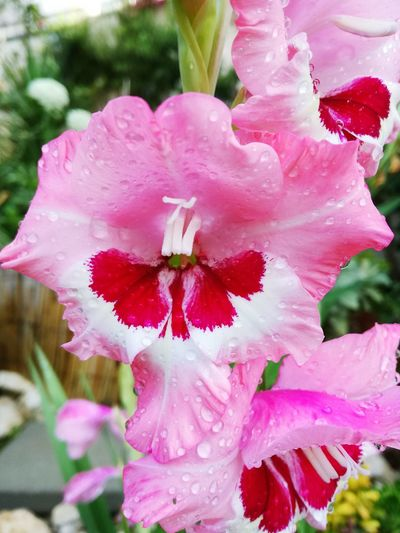 Gladiolus matinal
