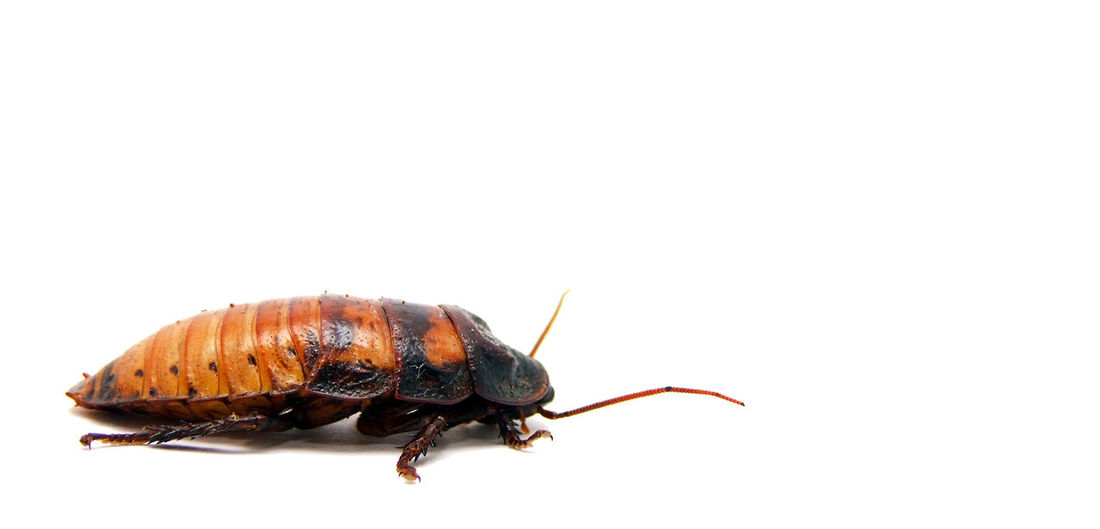 Madagascar hissing cockroach on a white background BIG Cockroach Heavy Africa Antenna Close-up Hisser Insect Insects  Large Group Of People Nature No People One Animal Pet Roach Scary Studio Shot White Background Wingless