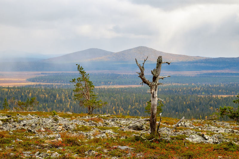 Autumn snowfall over distant peaks in the Tankavaara area of the Finnish Lapland. Autumn Dead Tree Lapland, Finland Weather Arctic Beauty In Nature Cloud - Sky Day Fell Landscape Mountain Nature No People Outdoors Peaks Rugged Terrain Scenery Scenics Sky Snowing Timber Line Tranquility Tree Tree Line