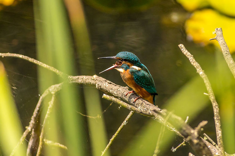 Close-up of kingfisher perching on plant stem