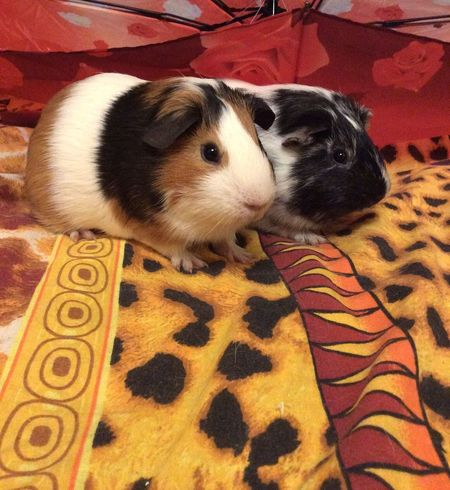 Guinea pigs Cavy Guineapig Mammal Dog One Animal Indoors  No People