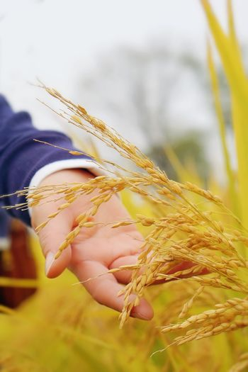 Close-up of wheat plant