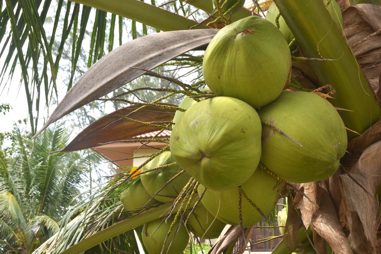 LOW ANGLE VIEW OF FRESH COCONUT PALM TREE