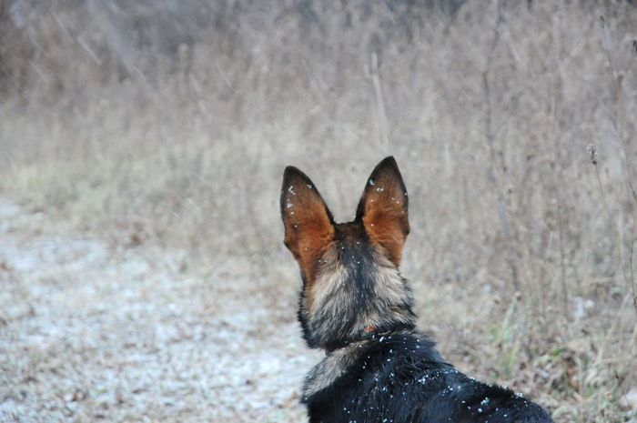 a snow pup in the wild Workingdog My Pet Puppy Germanshepherd Outdoors Winter Snow Upstate New York Weekend Activities One Animal Dog Pets Animal Themes Domestic Animals Shades Of Winter