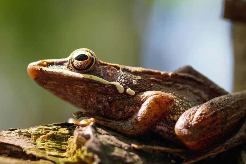 A Seriously Frog in the corner of the trees Wildlife Animals In The Wild Nature Macro Animal Wildlife Reptile Selective Focus Close-up Animal Eye Amphibian Frog Animal Head  First Eyeem Photo