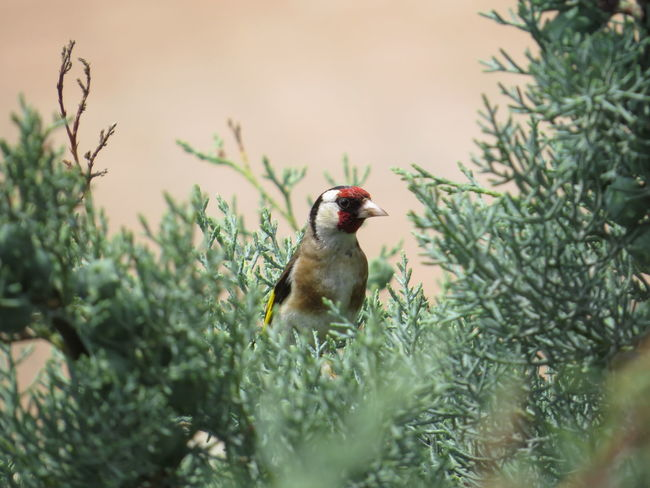 Hide and Seek Animal Themes Animal Wildlife Animals In The Wild Beauty In Nature Bird Carduelis Close-up Day European Goldfinch Green Color Growth Nature No People One Animal Outdoors Perching Plant Selective Focus Sparrow Tree