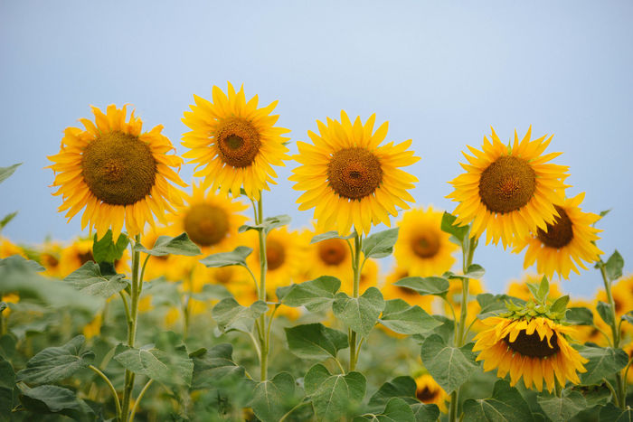 Field Nature Sunflowers Sunset