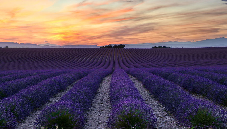 Sunset over lavender field in Provence Beauty In Nature Purple Scenics - Nature Land Flower Sunset Field Lavender Agriculture Landscape Tranquility Flowering Plant Sky Nature Tranquil Scene Idyllic Cloud - Sky Rural Scene No People Outdoors Romantic Sky Flowerbed Provence Evening Agriculture
