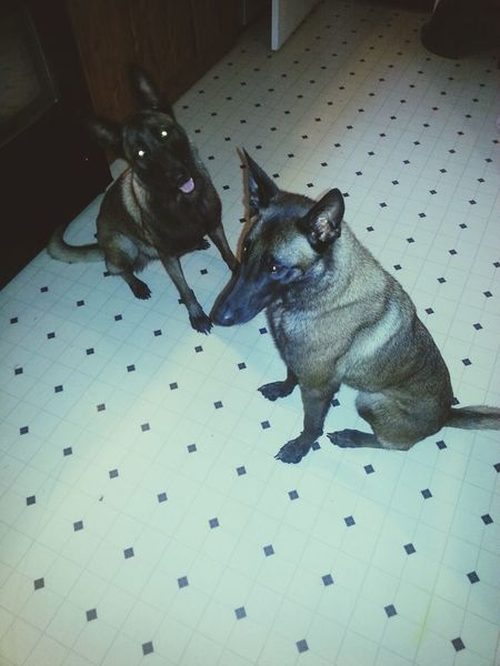 Dog Love I Love My Dog Dog Belgian Malinois