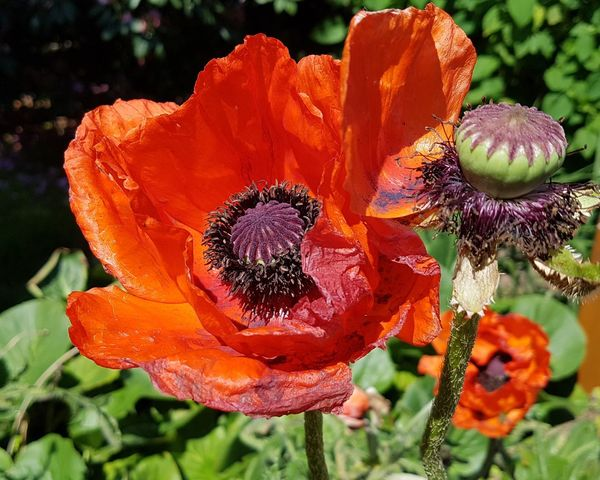 Flower Nature Beauty In Nature Fragility Growth Petal Flower Head Freshness Garden Poppies Close-up Poppy Day Sunlit Glow Sunlit Sunkissed Flowers Sunkissed Poppy Summer Summertime Ladyphotographerofthemonth Close-up Shot Focus On Foreground Springtime Natural Beauty Poppy Seed Head Poppy Season Gorgeous Colors EyeEm Selects
