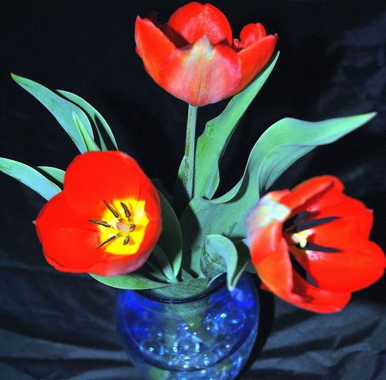 Close-up of red tulip flowers in vase