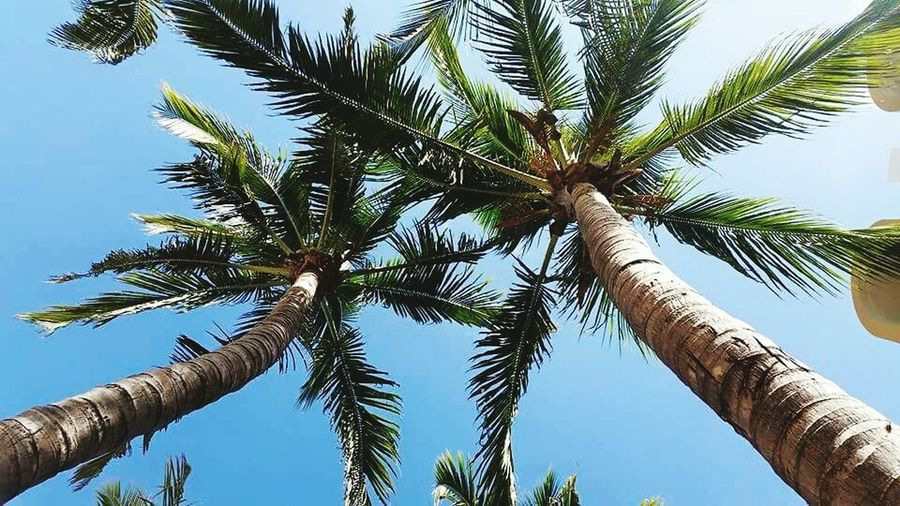 Palmiers 🌴👣 Coconut Palm Tree Travel Destinations Tree Sunny Blue Travel Nature Tranquility