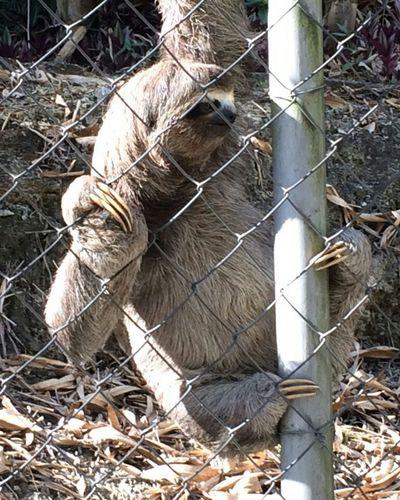 Sloth EyeEm Nature Lover Wildlife Nature Photography Animal Photography Slowly Presence