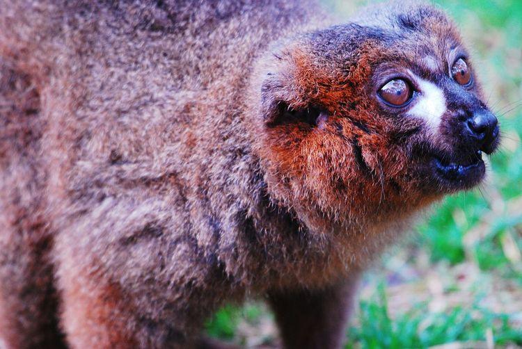 Lemur Lemur One
