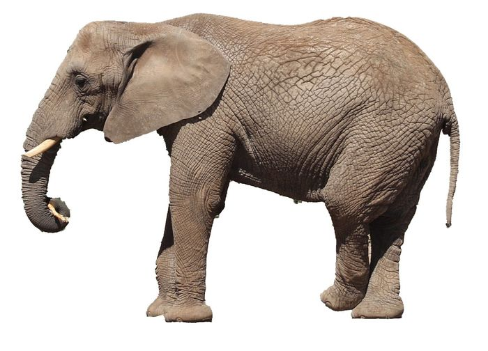 Cut Out Elephant Animal Animal Themes One Animal Mammal Vertebrate Animal Wildlife White Background Side View Animal Body Part No People Animals In The Wild Animal Trunk Cut Out Tusk Asian Elephant Full Length Profile View Nature African Elephant