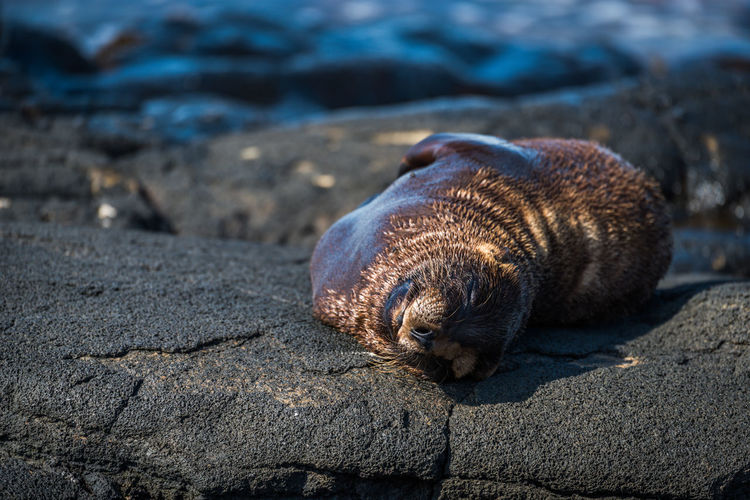 Close-up of seal sleeping on rocky shore