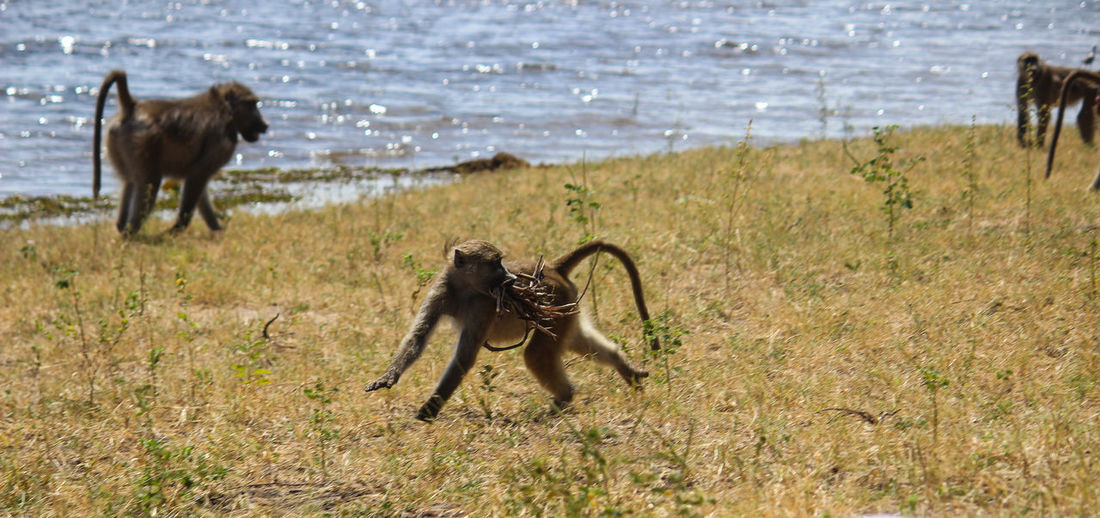 Baboons On Grass Against River