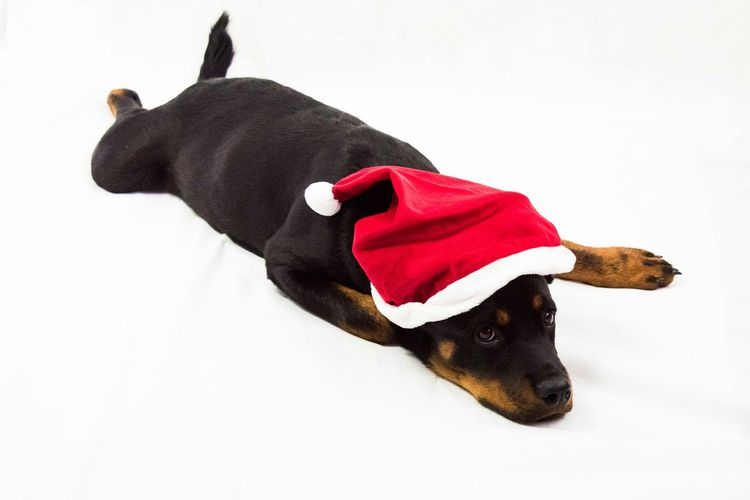 Nice 3. Advent Rottweiler Dogs Animal Advent Eye4photography