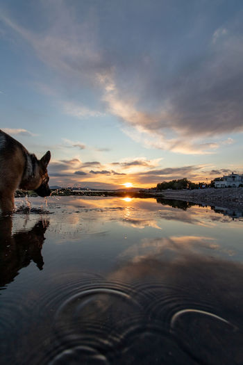 Dog standing in water at sunset