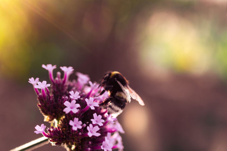 Bee on a flower Flower Flowering Plant Insect Beauty In Nature Animal Wildlife Freshness Animal Fragility Animal Themes Plant One Animal Close-up Vulnerability  Animals In The Wild Petal Nature Flower Head Bee No People Outdoors Nikon Nikonphotography Bees Blossom Bokeh