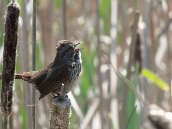 Singing Bird in