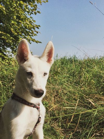 Domestic Animals Animal Themes Grass Pets One Animal Dog Animal Head  Field Close-up Front View Mammal Grassy Growth Day Focus On Foreground Grassland Green Color Animal Outdoors