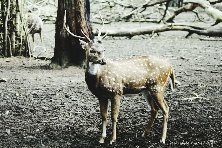 A wounded deer leaps the tallest . One Animal Animal Wildlife Animals In The Wild Tree Trunk Stag Antler Nature Day Outdoors Bare Tree Mammal Tree Animals In The Wild