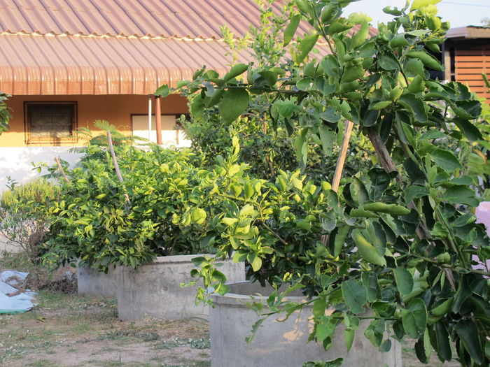 Agriculture Architecture Beauty In Nature Building Exterior Day Green Color Greenhouse Growth House Leaf Lemon Garden Nature No People Outdoors Plant Tree Lemon Tree